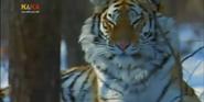 MMHM Siberian Tiger