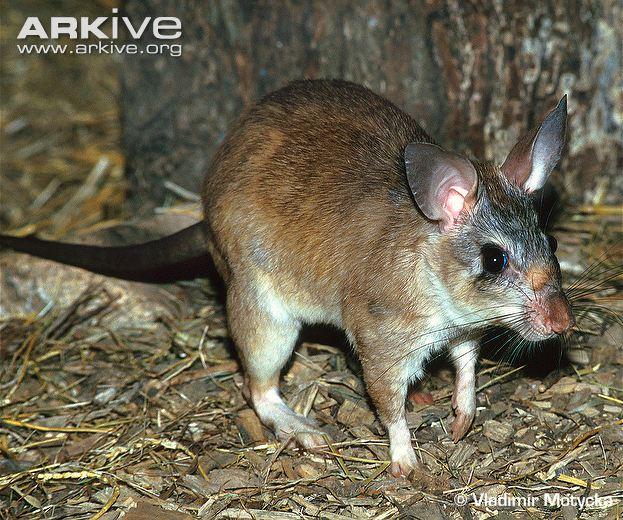 Malagasy Giant Rat