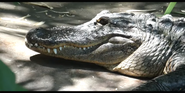 Nashville Zoo Alligator