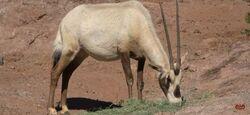 Phoenix Zoo Oryx.jpg