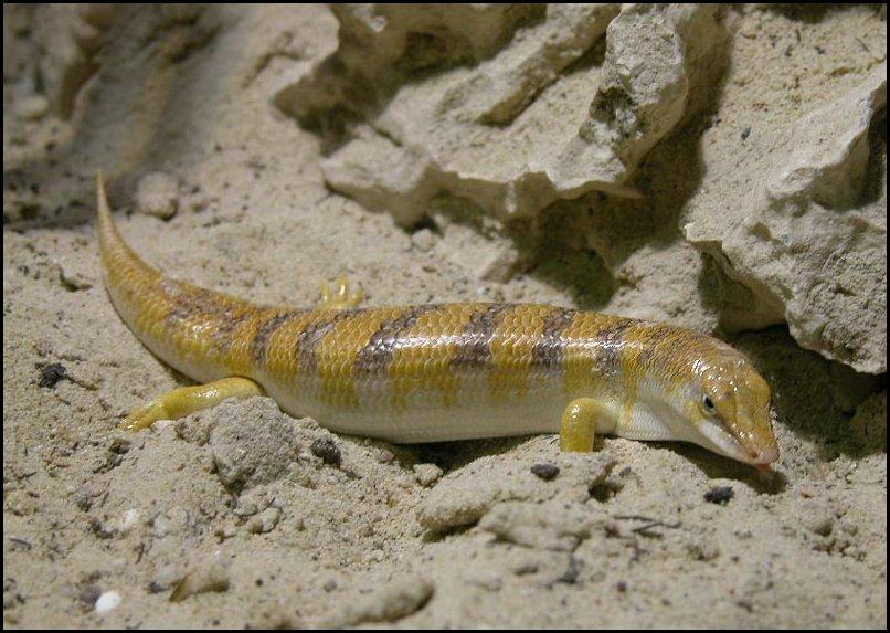 Common Sandfish