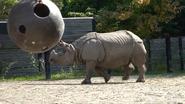 Toronto Zoo Indian Rhino