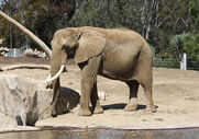 1280px-African bush elephant in San Diego Zoo