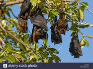 A-group-of-fruit-bats-indian-flying-foxes-pteropus-giganteus-resting-BA1BT1
