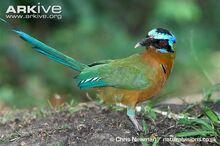 Adult-blue-crowned-motmot.jpg