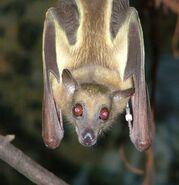 Bat, Straw-Collored Fruit