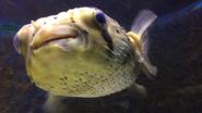 Baton Rouge Zoo Pufferfish