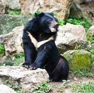 Black Bear, Formosan