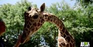 Bronyx Zoo Giraffe