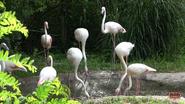 Cincinnati Zoo Flamingos (V2)