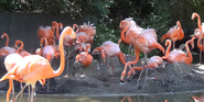 Columbus Zoo Flamingos