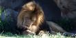 Denver Zoo African Lion