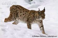 Eurasian-lynx-walking-through-snow-in-summer-coat