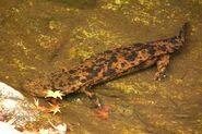 Giant japan salamander
