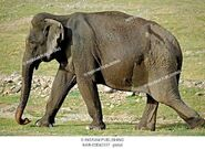 Indian Elephant Matriarch