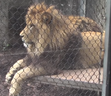 Indianapolis Zoo Masai Lion