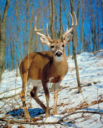 Male-white-tailed-deer