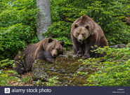 Male and Female Eurasian Brown Bears