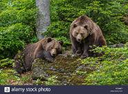 Male and Female Eurasian Brown Bears