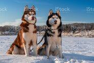 Male and Female Siberian Huskies