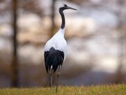 Red-crowned crane.jpg