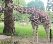 Topeka Zoo Giraffe