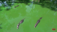 Zoo World Panama Alligators