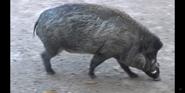 Cincinnati Zoo Wild Pig