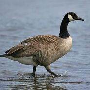 Goose, Canadian