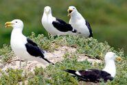 Kelpgullshouting