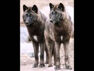 Male and female Alexander Archipelago wolves