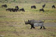 Rhinoceros and Wildebeests