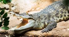 Siamese croc 1.jpg