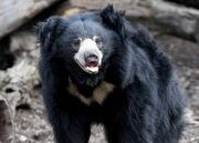 Sloth bear (Melursus ursinus).jpg