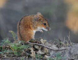Striped Field Mouse.jpg
