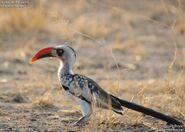 Tanzanian red-billed hornbill (Tockus ruahae)