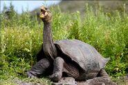 Tortoise, Galapagos (V2)