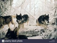 Wolves-the-chronicles-of-narnia-the-lion-the-witch-and-the-wardrobe-BPNA60