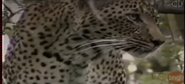 Zoboomafoo Yellow Leopard