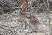 1200px-Antelope jackrabbit 2.jpg