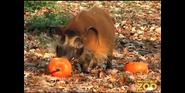 Brookfield Zoo Hog
