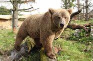 Brown Bear, Himalayan