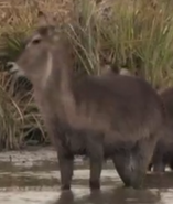 CITIRWN Waterbuck