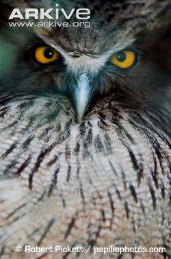 Close-up-of-Blakistons-fish-owl.jpg