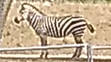 Columbus Zoo Zebra
