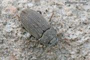 Darkling beetle.jpg