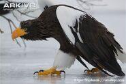 Eagle, Steller's Sea