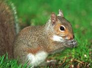Eastern-gray-squirrel-pictures