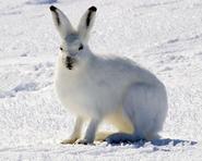 Elsa the Arctic Hare