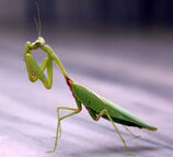 Praying Mantis.jpg